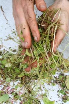 Claytone de cuba - prod semences - DP (5)