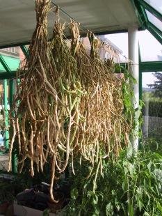 Haricot - production semences (2)